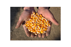 French's Seed Corn Varieties